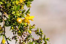 Creosote Bush (Larrea Tridentata) Blooming In Anza-Borrego Desert State Park, South California