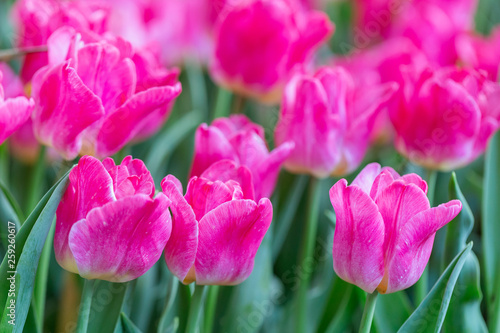 Montage in der Fensternische Rosa Tulip flower with green leaf background in tulip field at winter or spring day for postcard beauty decoration and agriculture concept design.