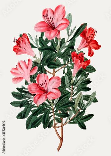 Photo Red Chinese azalea