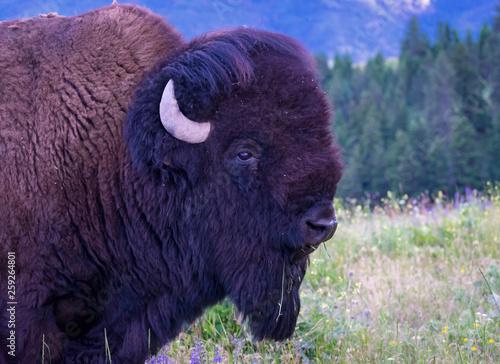 Fotografie, Obraz  National Bison Range