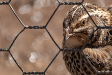 Close-up Of Quail Bird In Cage With Out Of Focus Background