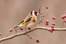 Goldfinch Sitting On Stick