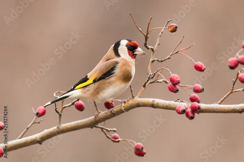 Fotomural Goldfinch sitting on stick