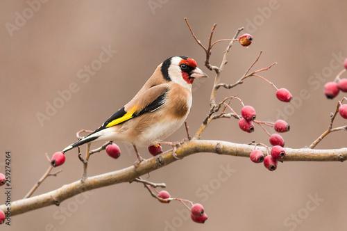 Fototapeta Goldfinch sitting on stick