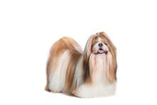 Shih Tzu Dog Standing, 6 Years...