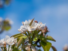 Close Up Branch Of Pear Tree I...