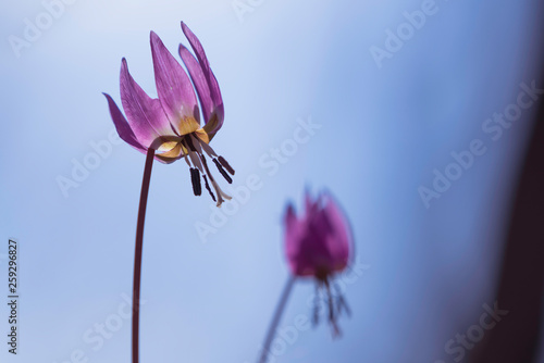 Fototapeta Dogtooth violet blooming