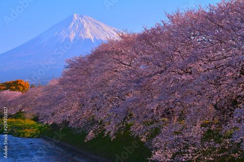 Foto op Plexiglas Kersenbloesem 潤井川龍巌淵からの満開の桜と快晴の富士山 2019/04/03