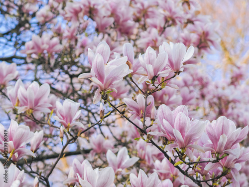Tuinposter Magnolia Beautiful flowering Magnolia pink blossom tree in spring season. Closeup of magnolia tree blossom with blurred background and warm sunshine. Magnoliaceae soulangeana
