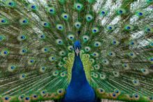 Peacock Bird Wonderful Feather...