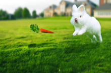 Rabbit In The Grass To Catch C...