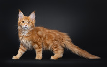 Handsome Young Maine Coon Cat Standing / Walking Side Ways. Looking Straight At Camera With Orange Brown Eyes. Isolated On A Black Background. Tail Behind Body.