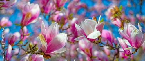 Poster Magnolia pink magnolia flowers on a flowering magnolia tree