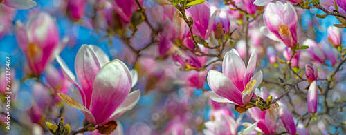 pink magnolia flowers on a flowering magnolia tree