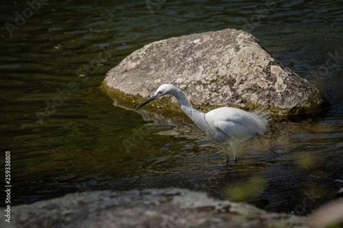 Photo Aigrette dans l'eau