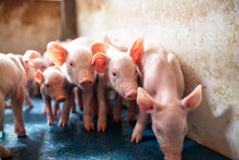 Ecological Pigs And Piglets At...