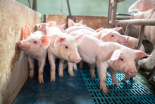 Ecological Pigs And Piglets At The Domestic Farm