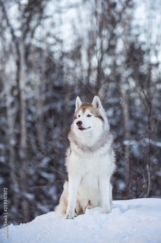 Beautiful and free siberian Husky dog standing on the hill in the fairy winter f Wallpaper Mural