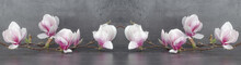 Wunderschöner Blühender Magnolienzweig Isoliert Auf Anthrazitem Hintergrund - Panorama Banner Lang
