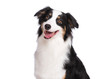 Close up portrait of cute young Australian Shepherd dog smiling, isolated on white background. Beautiful adult Aussie, looking away.