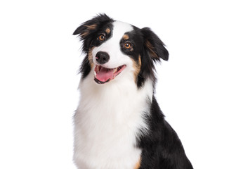Fototapeta Pies Close up portrait of cute young Australian Shepherd dog smiling, isolated on white background. Beautiful adult Aussie, looking away.