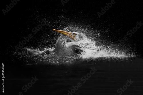 Fotografia Pelican take a bath