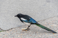 Magpie Eating Bread
