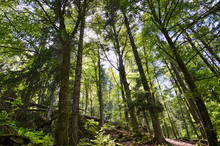 Forest Trees In Offenburg, G E...