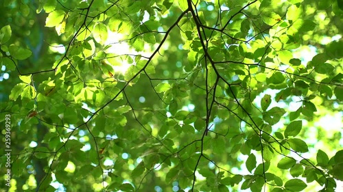 Fotografie, Obraz  Fresh Green Tree Leaves and Sunlight. Sunbeams in the forest.