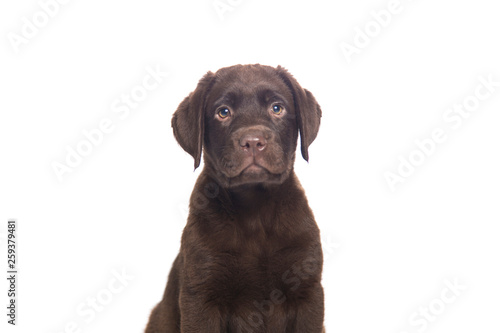 Fotografie, Obraz  closeup isolated portrait puppy of a  chocolate labrador sitting with attentive