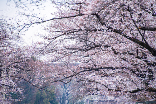 Photo sur Toile Les Textures Cherry blossoms in full bloom Ueno Park