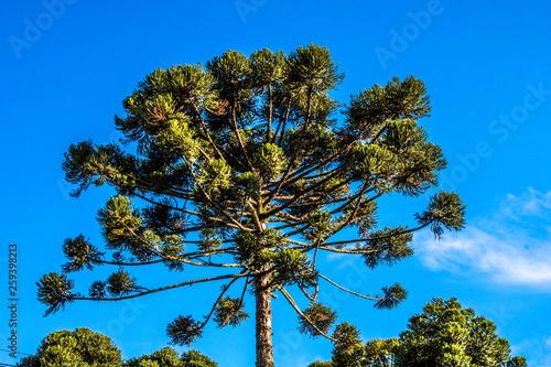 Photo Ararucaria tree in Curitiba city, on Parana state