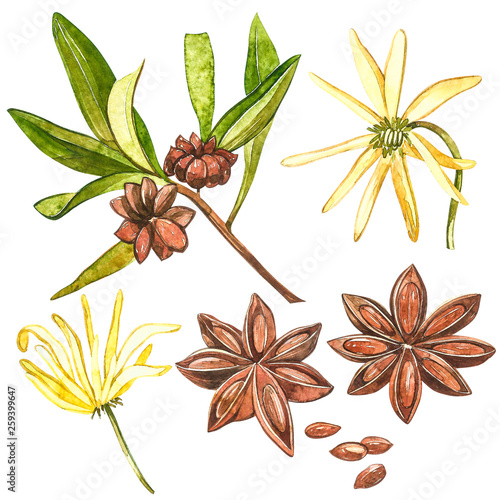 Fototapeta Star anise plants isolated on white background. Watercolor botanical illustration of culinary and healing plant star anise. obraz