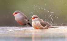 Small And Beautiful Common Waxbill Having A Bath In Water
