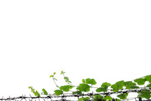Grass, Creeping Along The Lines Of Barbed Wire Isolated White Background