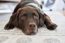 Close Up Of Dog Resting On Rug
