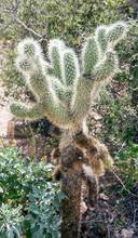 Teddy Bear Cholla Cactus.