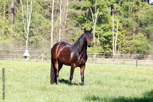 Horse, Domestic Horse, Workhorse Schwegen, Lower Saxony, Germany, Europe