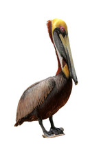 Florida Brown Pelican Isolated...