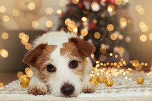 JACK RUSSELL DOG UNDER CHRISTMAS TREE LIGHTS.