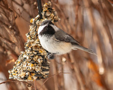 Chickadee Eating Birdseed In A Bush