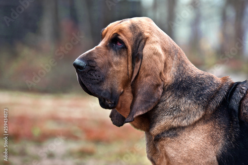 Tablou Canvas Dog breed bloodhound portrait in autumn park