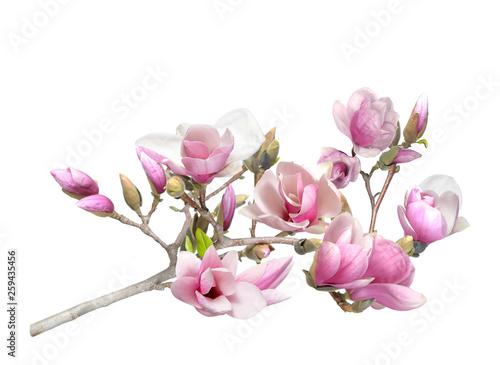 Foto  pink magnolia