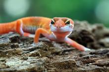 Orange Gecko Lizard Closeup Face On Wood