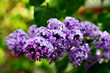Macro view blooming lilac. Springtime landscape with bunch of violet flowers. Selective focus photo.