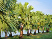 Tree Palm Garden In Row On The Riverside