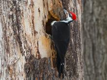 Male Pileated Woodpecker Makin...