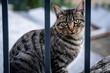 Leinwanddruck Bild - Streunende, getigerte Katze hinter Zaun in Andorra