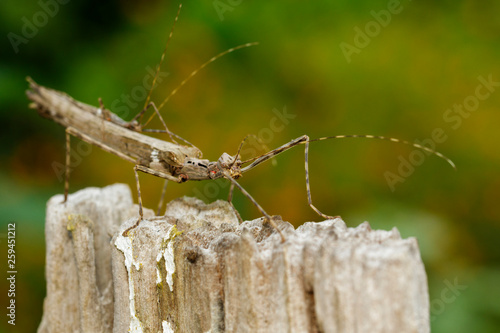 Photo  Image of a siam giant stick insect and stick insect baby on dried stump