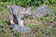Bobcat Perched Atop A Rock
